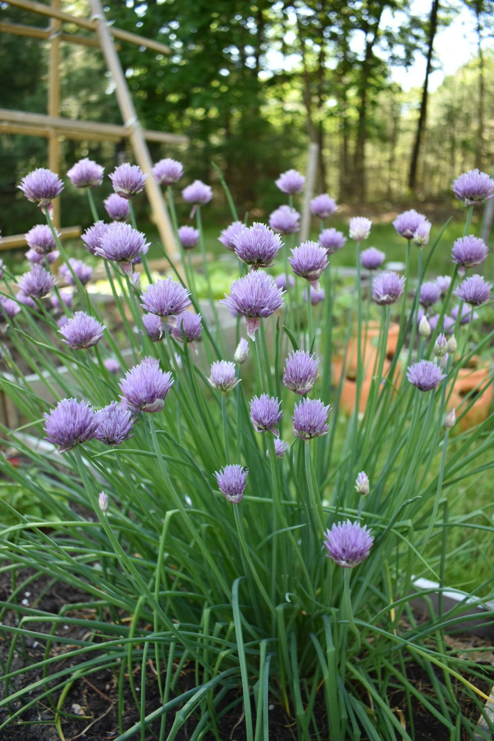 Fresh chives!